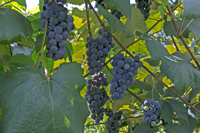 Concord Grapes - U-pick, Juice, Crush
