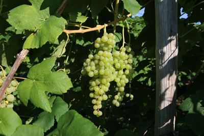 Himrod Seedless Table Grapes